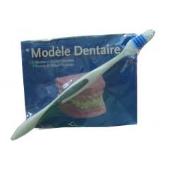 หุ่นจำลองฟันพร้อมแปรงชุดเล็กE-26